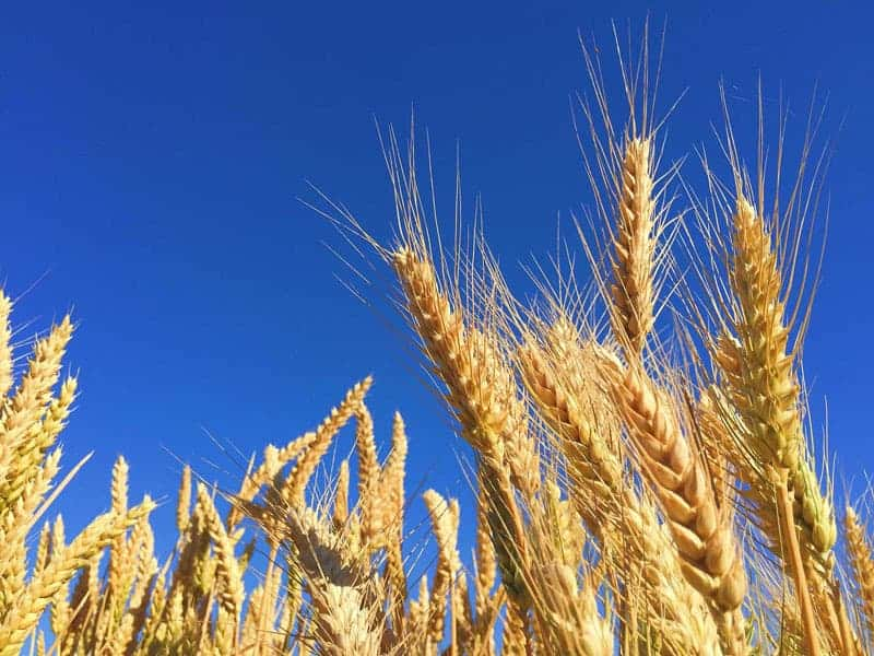 wheat copy